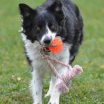 Moe running with ball tug 10.6.12