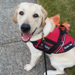 Brutus Service Dog In Training
